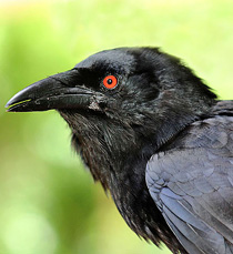 210-cuban_crow